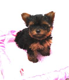 Sophias teacup Yorkie puppy