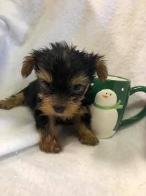 Akc Yorkshire Terrier Yorkie Puppies For Sale Georgia Florida Al