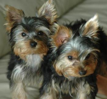 AKC Yorkshire Terrier Yorkie puppies for sale Georgia