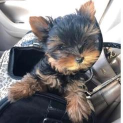 Celebrity puppies for sale