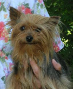 Yorkshire terrier celebrity owners
